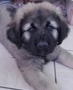 Touffu, Berger du Caucase, éducation canine, éducateur canin, comportementaliste, Nantes, 44, Loire Atlantique